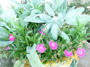Dianthus and Lambs Ear
