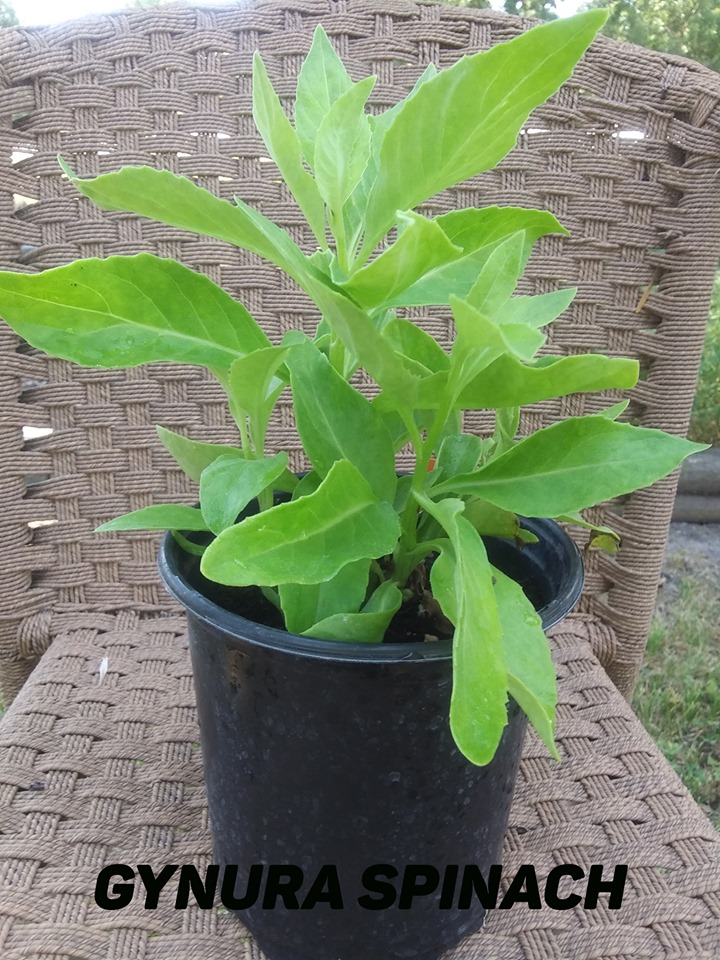 Med - gynura spinach - Copy