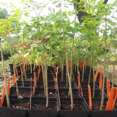 Med - Moringa plant - Copy