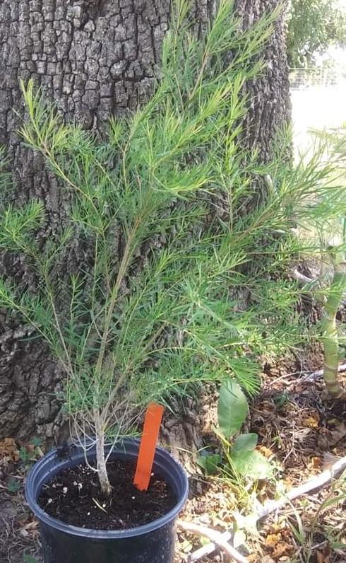 Med - Tea Tree
